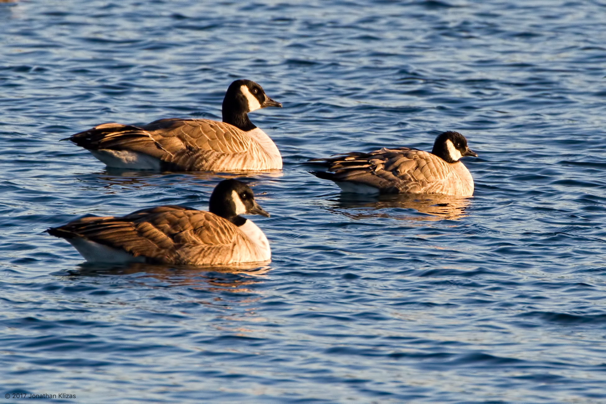 Cackling Goose with Canada Geese, Lake Parsippany, NJ, Nov  24, 2